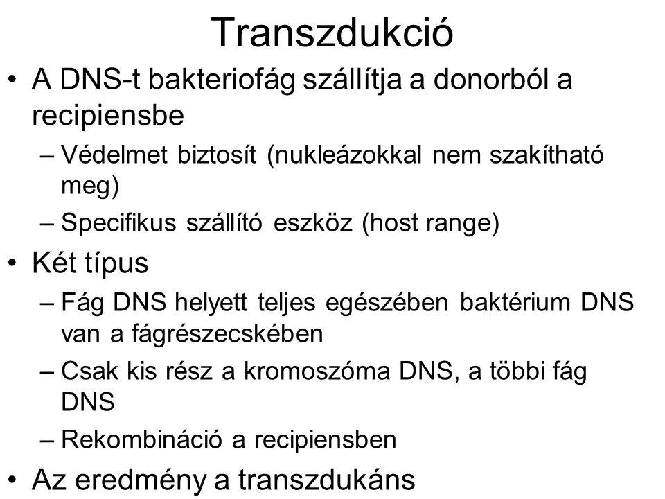 Transzdukció A DNS-t bakteriofág szállítja a donorból a recipiensbe