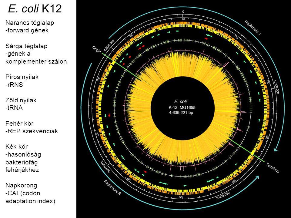 E. coli K12 Narancs téglalap forward gének Sárga téglalap