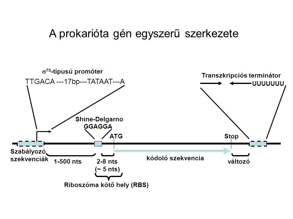 A prokarióta gén egyszerű szerkezete