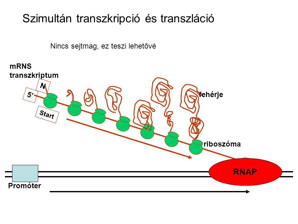 Szimultán transzkripció és transzláció