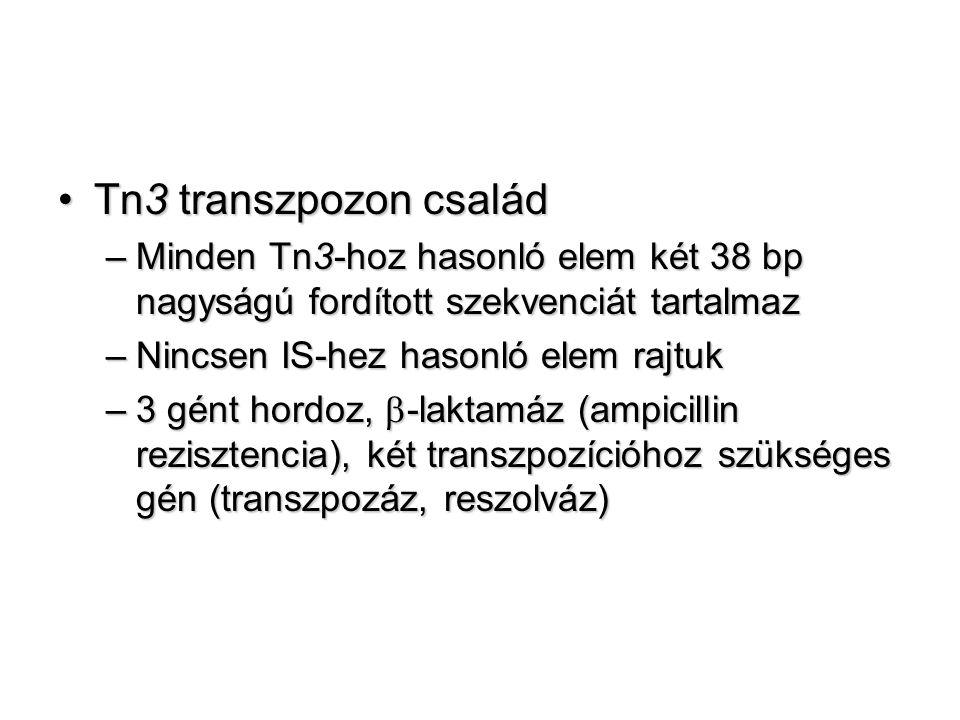 Tn3 transzpozon család Minden Tn3-hoz hasonló elem két 38 bp nagyságú fordított szekvenciát tartalmaz.