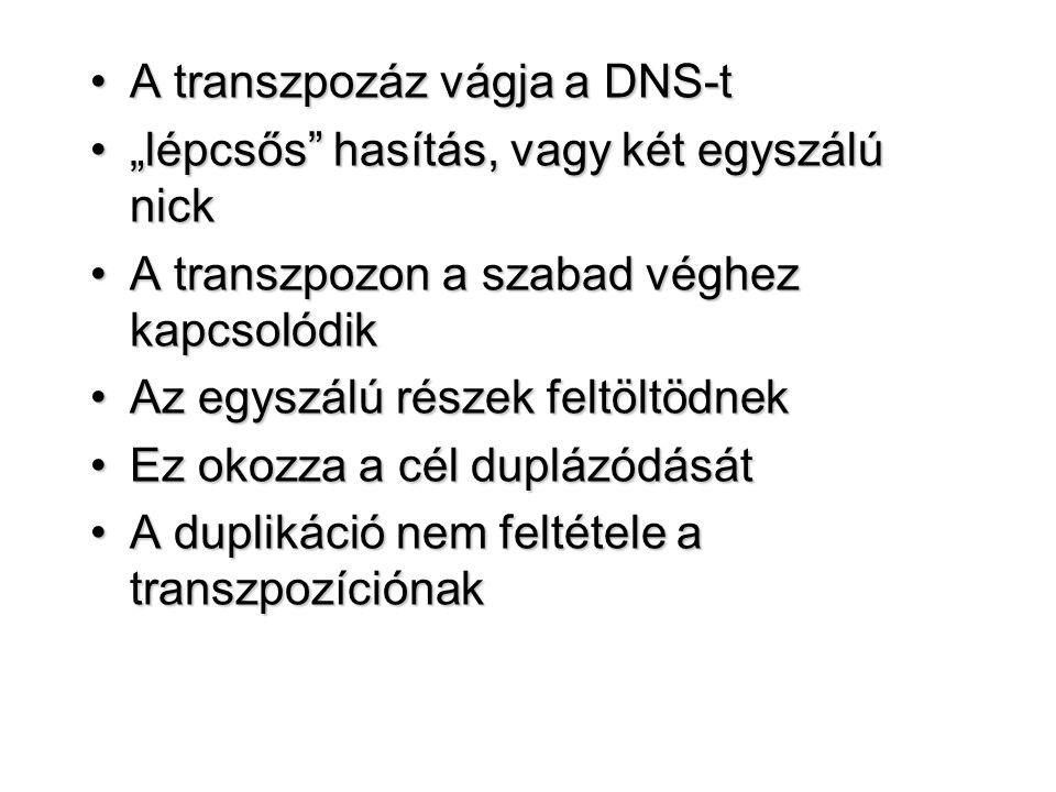 A transzpozáz vágja a DNS-t