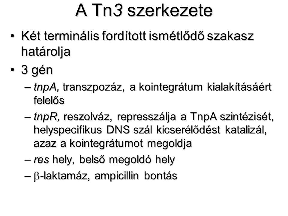 A Tn3 szerkezete Két terminális fordított ismétlődő szakasz határolja