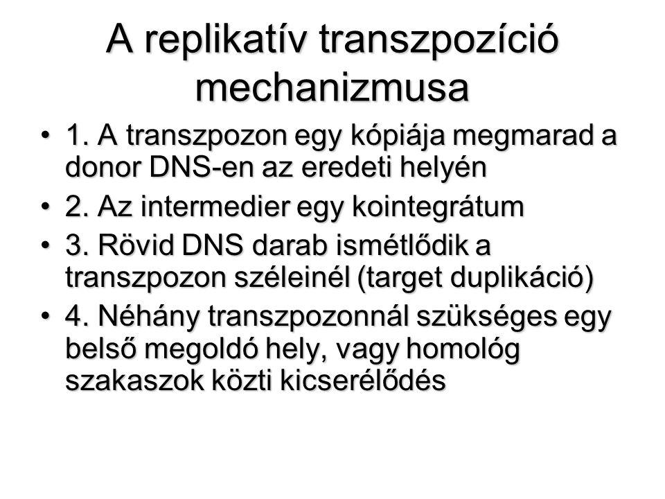 A replikatív transzpozíció mechanizmusa
