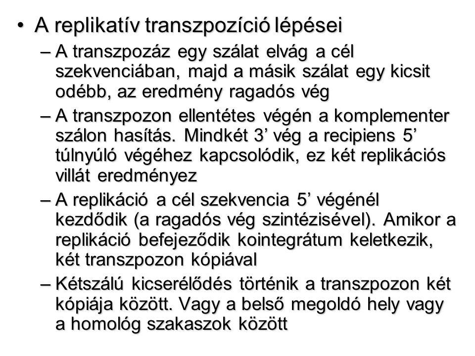 A replikatív transzpozíció lépései