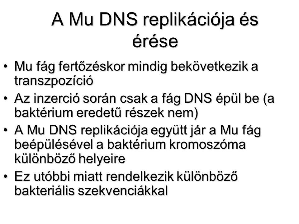 A Mu DNS replikációja és érése