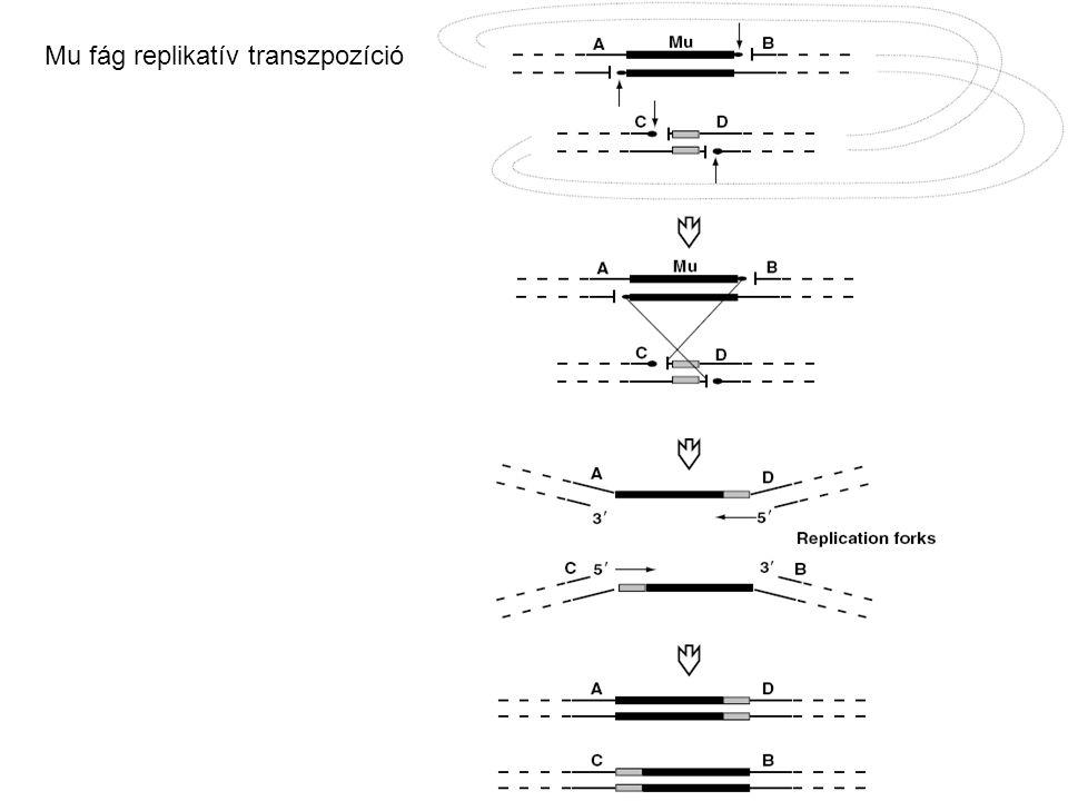 Mu fág replikatív transzpozíció