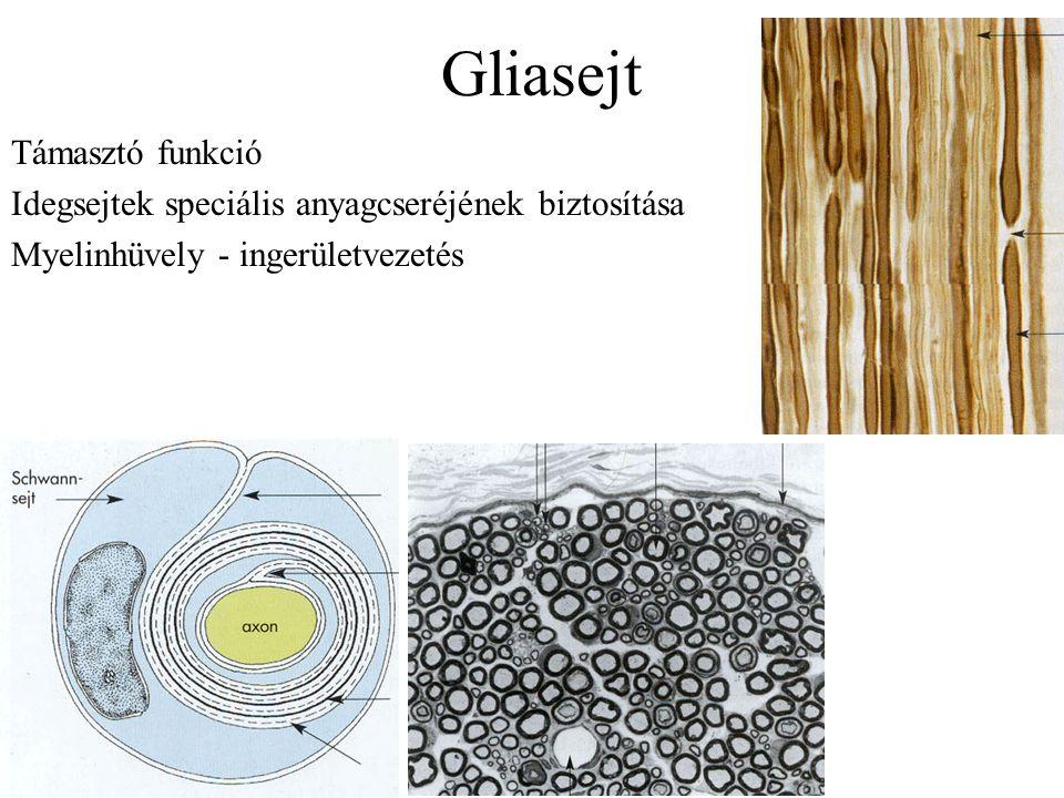 Gliasejt Támasztó funkció
