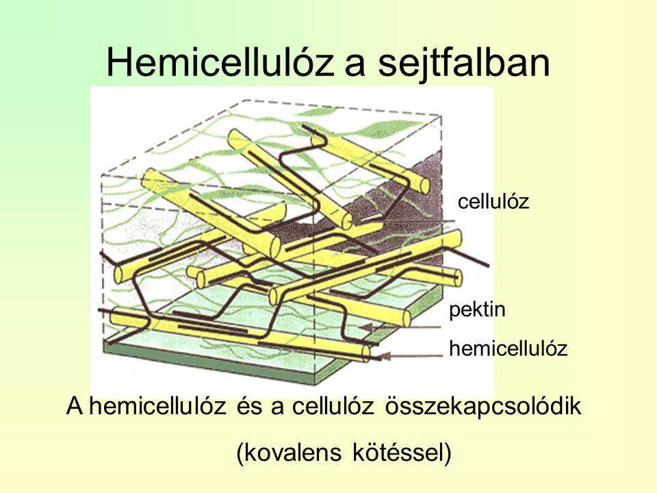 Hemicellulóz a sejtfalban