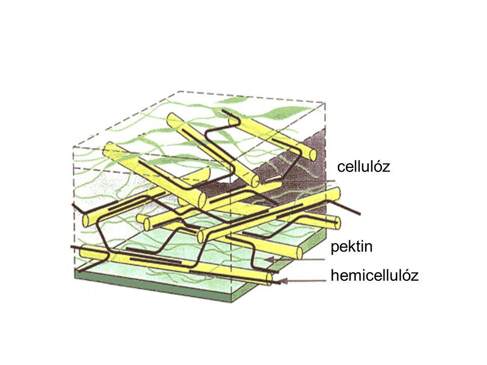 Sejtfal cellulóz pektin hemicellulóz