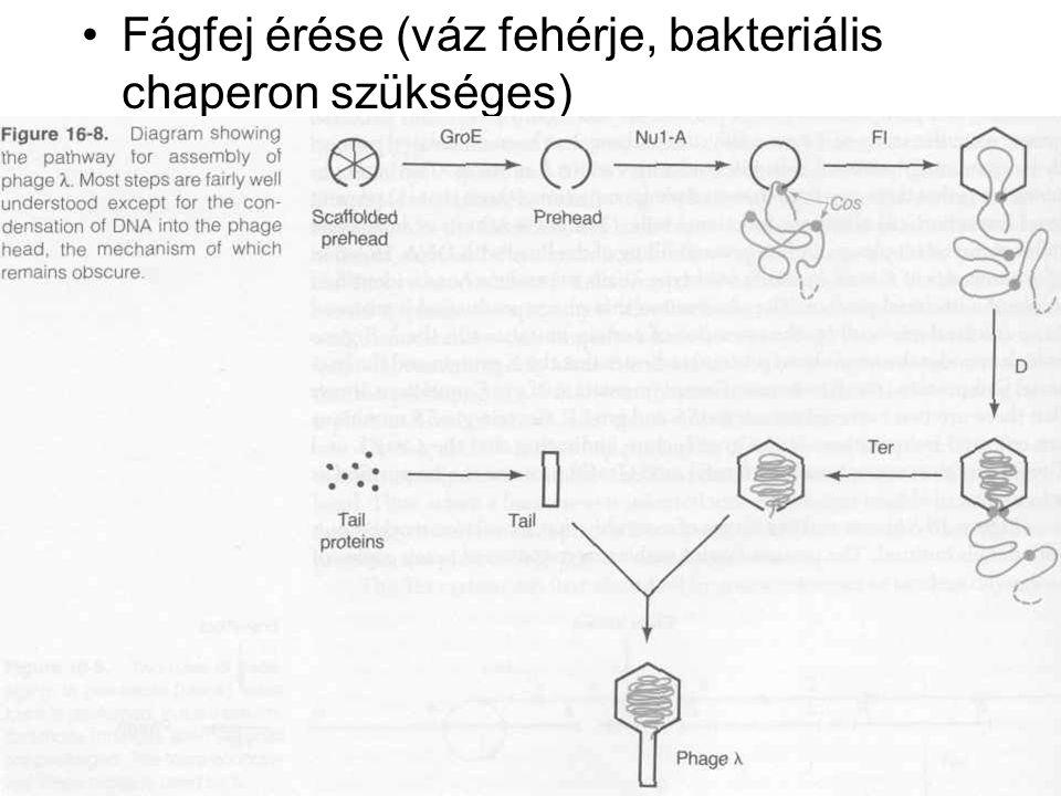 Fágfej érése (váz fehérje, bakteriális chaperon szükséges)