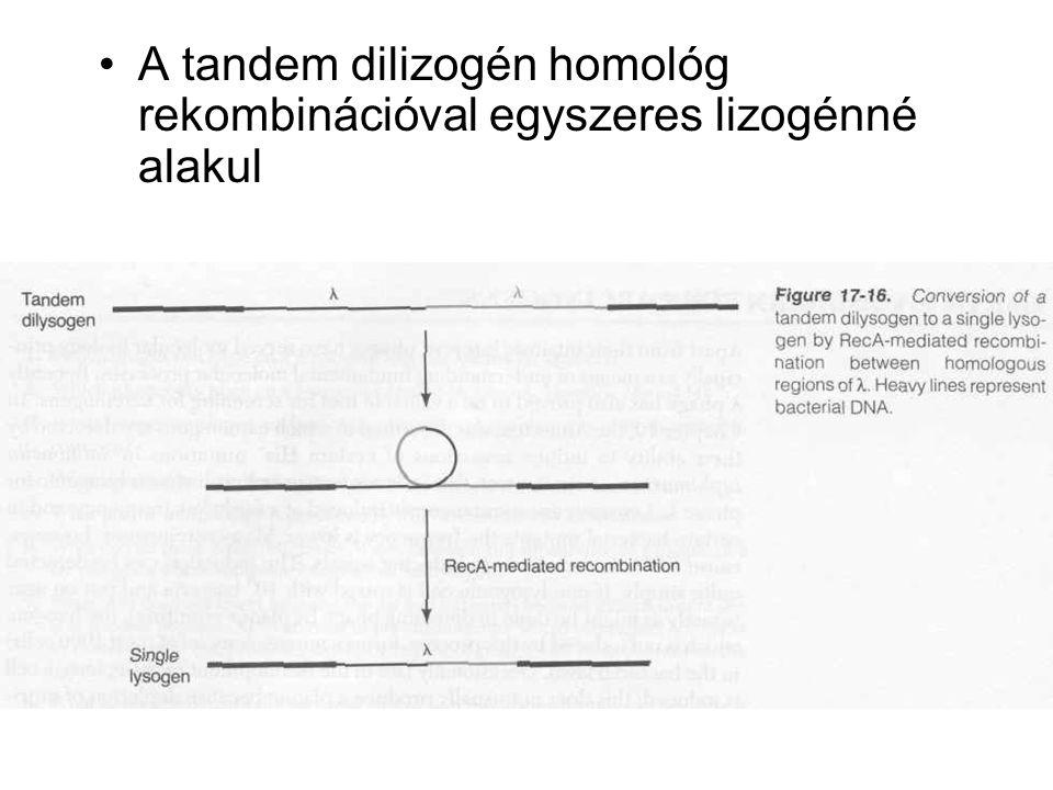 A tandem dilizogén homológ rekombinációval egyszeres lizogénné alakul
