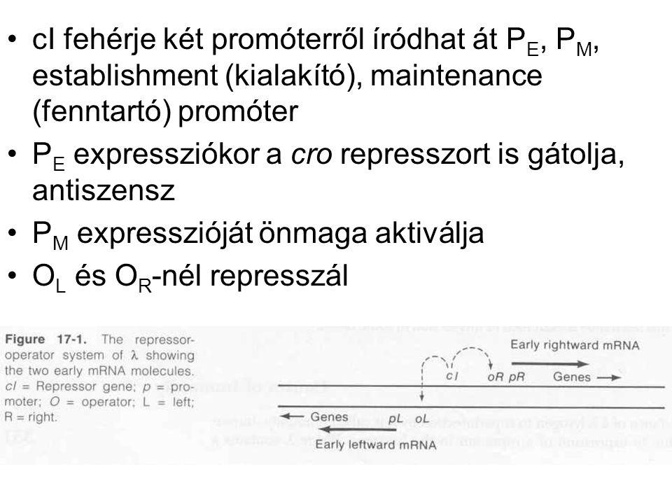 cI fehérje két promóterről íródhat át PE, PM, establishment (kialakító), maintenance (fenntartó) promóter
