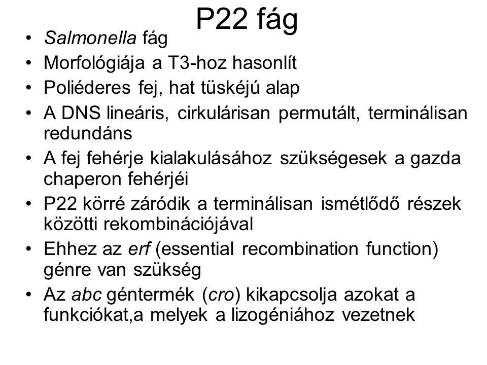 P22 fág Salmonella fág Morfológiája a T3-hoz hasonlít
