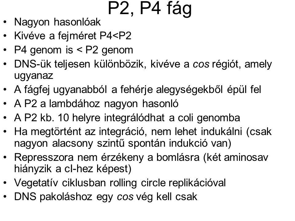P2, P4 fág Nagyon hasonlóak Kivéve a fejméret P4<P2