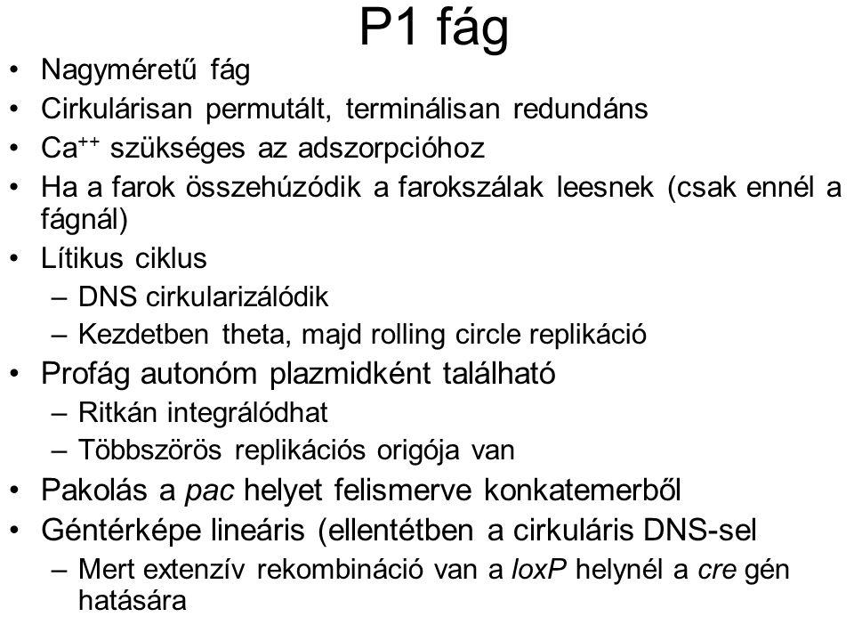 P1 fág Profág autonóm plazmidként található