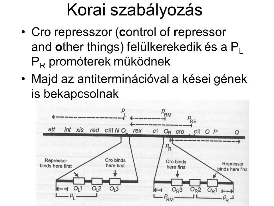 Korai szabályozás Cro represszor (control of repressor and other things) felülkerekedik és a PL PR promóterek működnek.