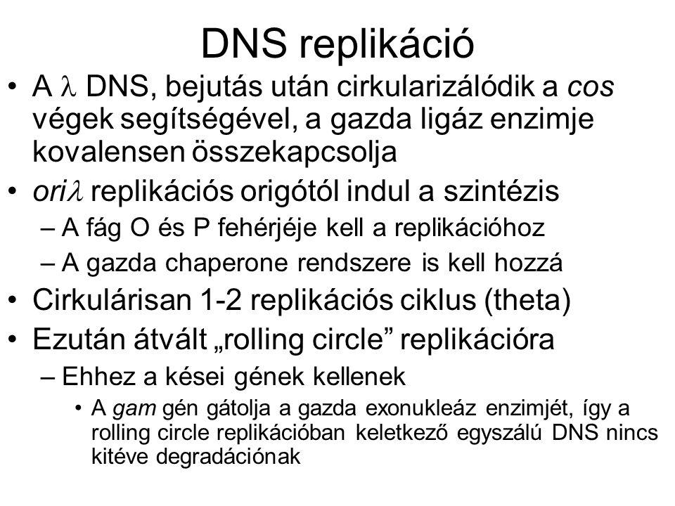 DNS replikáció A  DNS, bejutás után cirkularizálódik a cos végek segítségével, a gazda ligáz enzimje kovalensen összekapcsolja.