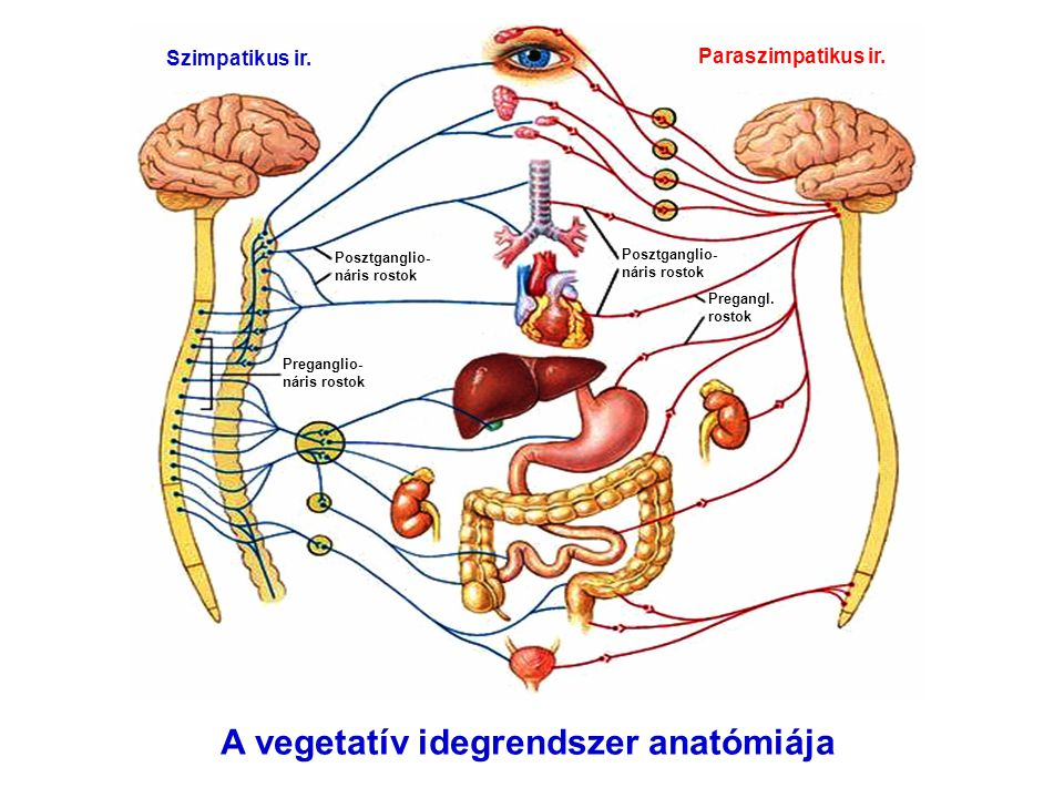 A vegetatív idegrendszer anatómiája