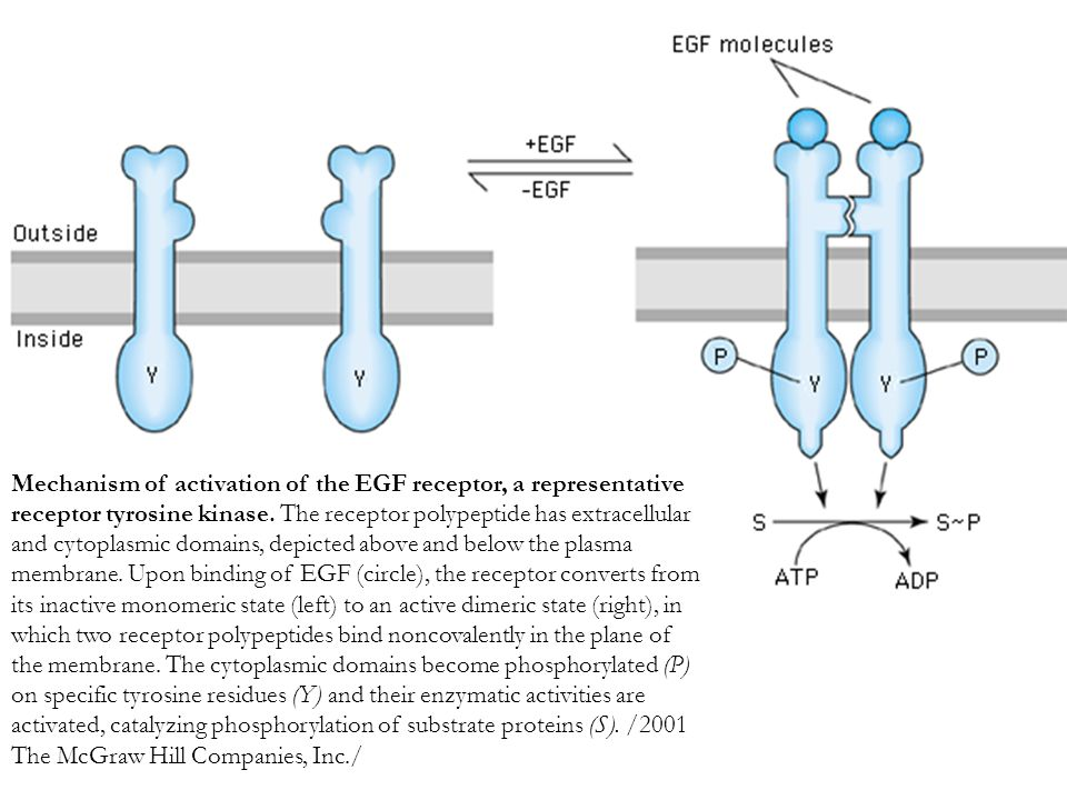 Mechanism of activation of the EGF receptor, a representative receptor tyrosine kinase.