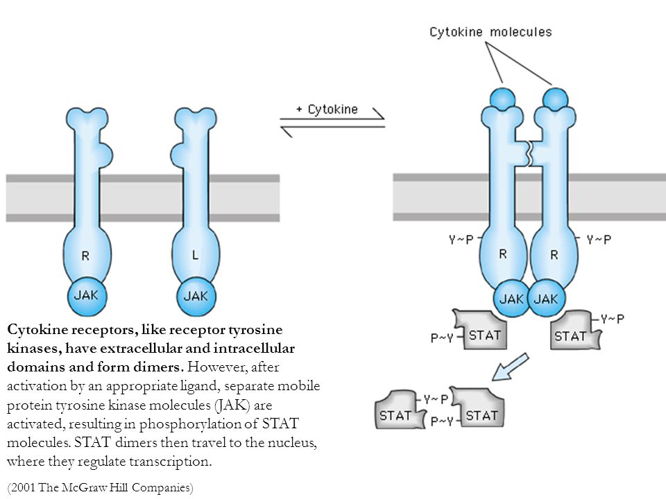 Cytokine receptors, like receptor tyrosine kinases, have extracellular and intracellular domains and form dimers. However, after activation by an appropriate ligand, separate mobile protein tyrosine kinase molecules (JAK) are activated, resulting in phosphorylation of STAT molecules. STAT dimers then travel to the nucleus, where they regulate transcription.