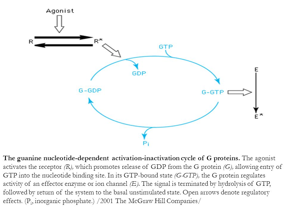 The guanine nucleotide-dependent activation-inactivation cycle of G proteins.