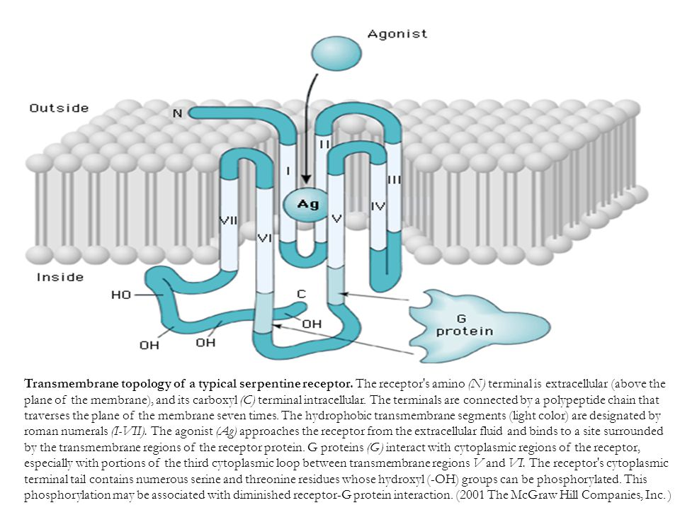 Transmembrane topology of a typical serpentine receptor