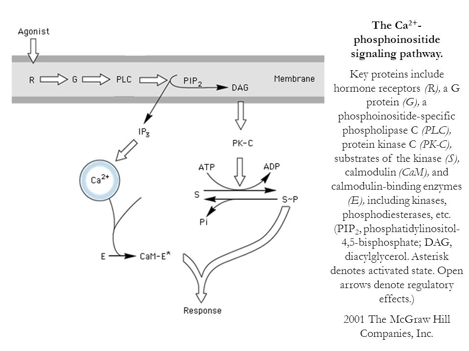 The Ca2+- phosphoinositide signaling pathway.