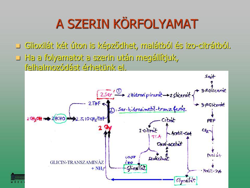 A SZERIN KÖRFOLYAMAT Glioxilát két úton is képződhet, malátból és izo-citrátból.