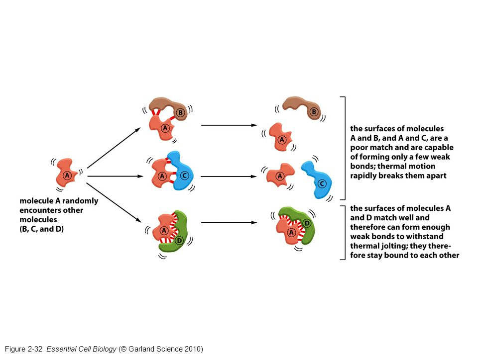 Figure 2-32 Essential Cell Biology (© Garland Science 2010)
