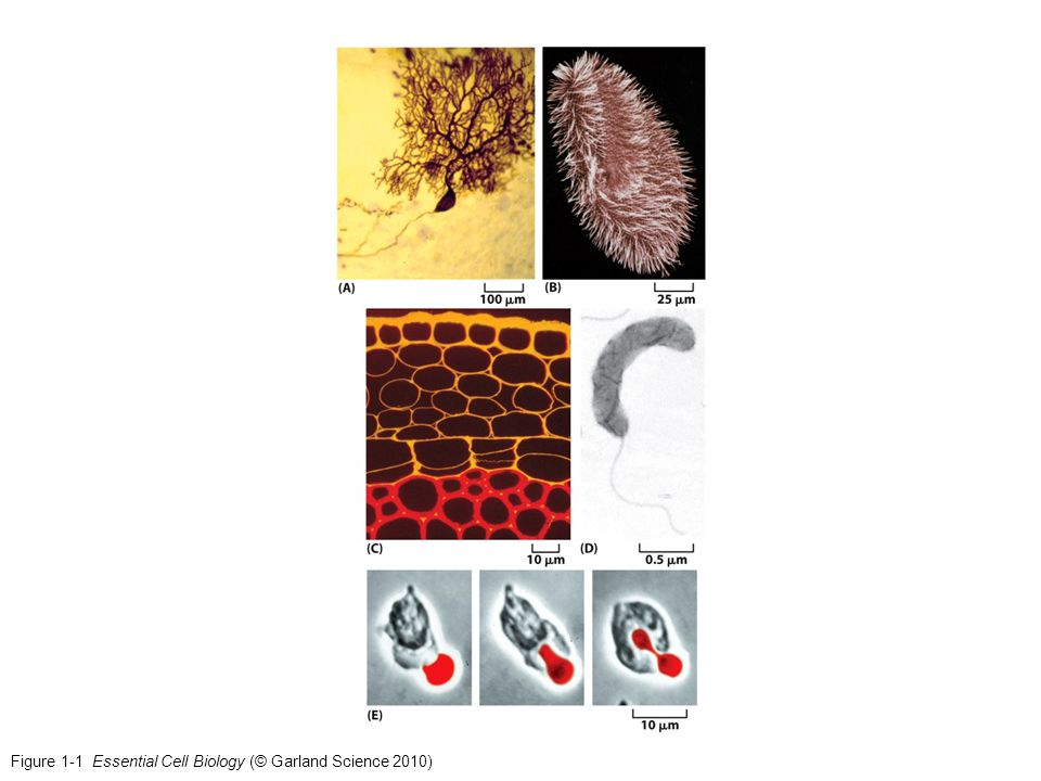 Figure 1-1 Essential Cell Biology (© Garland Science 2010)