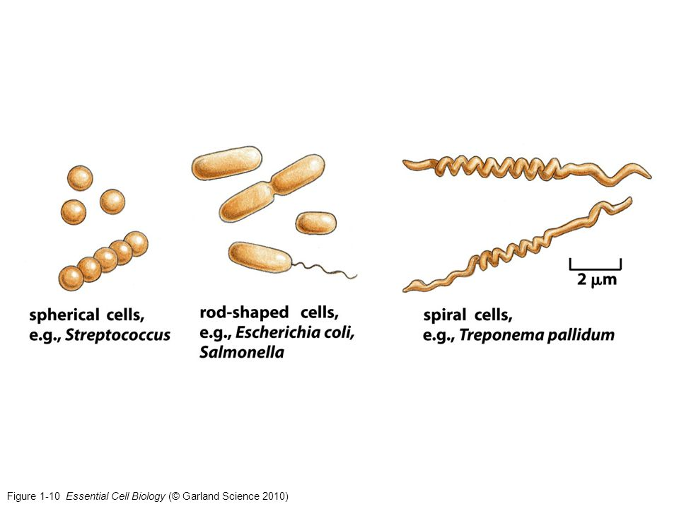 Figure 1-10 Essential Cell Biology (© Garland Science 2010)