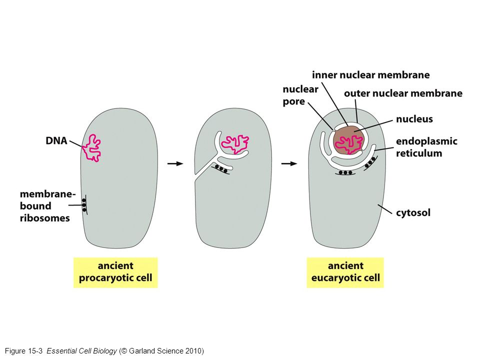 Figure 15-3 Essential Cell Biology (© Garland Science 2010)