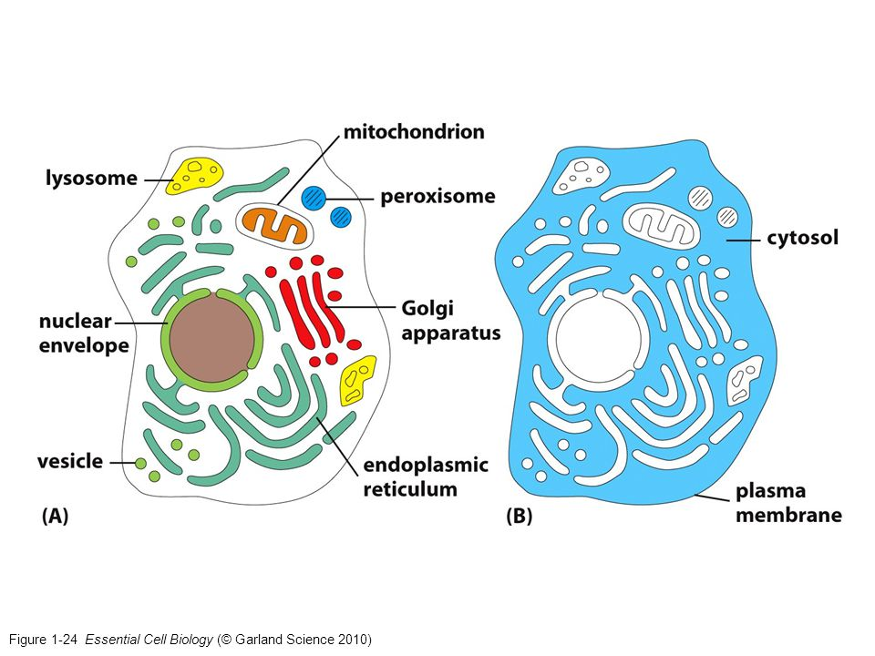 Figure 1-24 Essential Cell Biology (© Garland Science 2010)