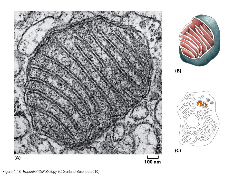 Figure 1-18 Essential Cell Biology (© Garland Science 2010)