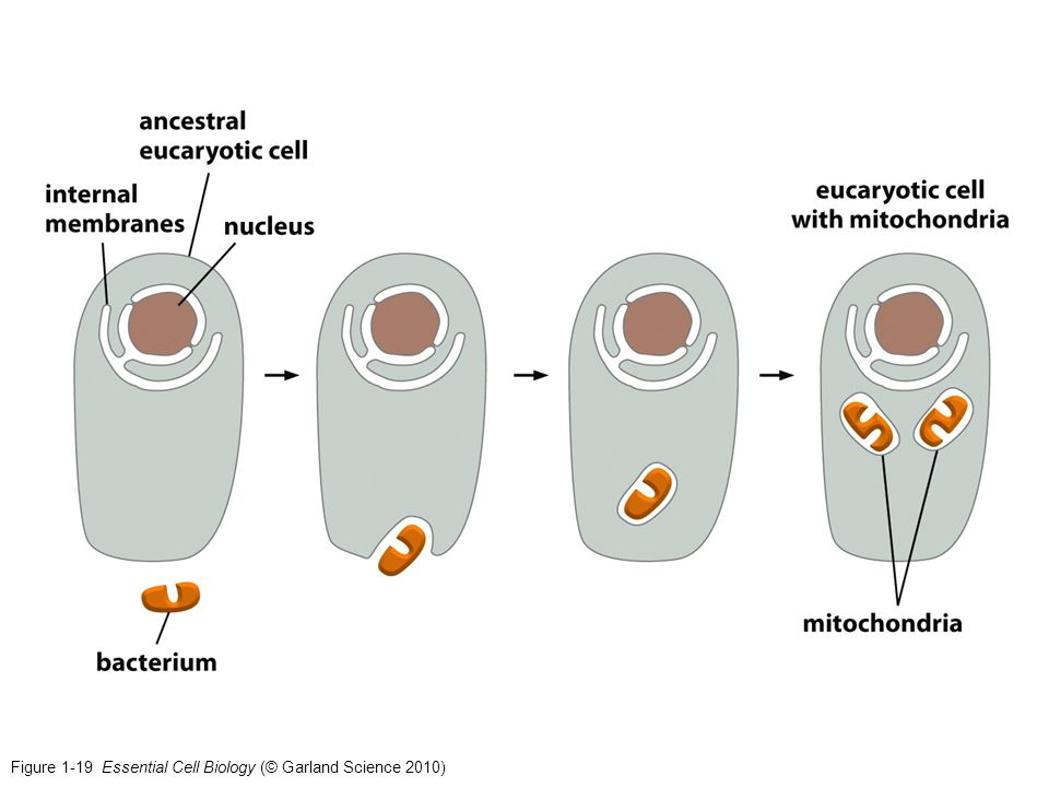 Figure 1-19 Essential Cell Biology (© Garland Science 2010)