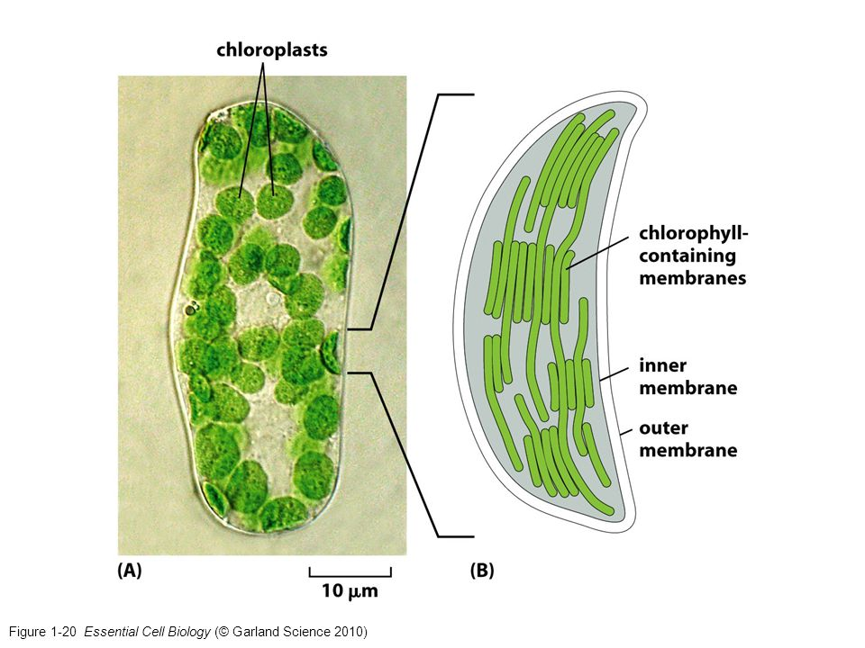 Figure 1-20 Essential Cell Biology (© Garland Science 2010)