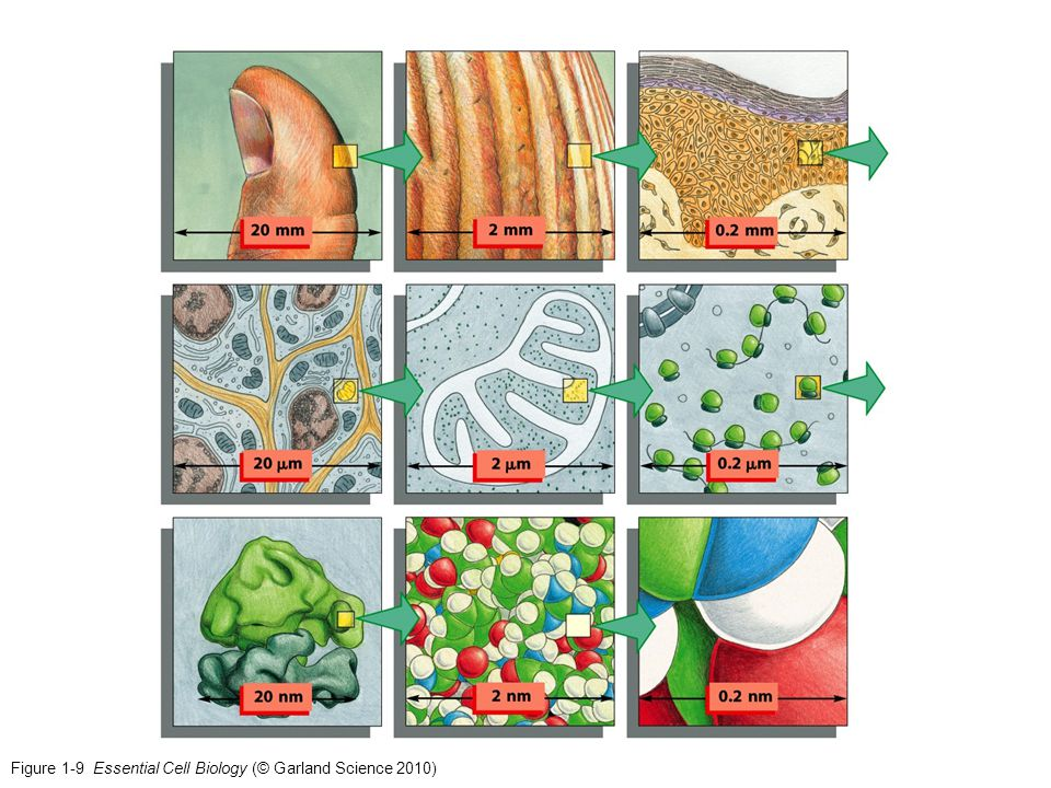 Figure 1-9 Essential Cell Biology (© Garland Science 2010)