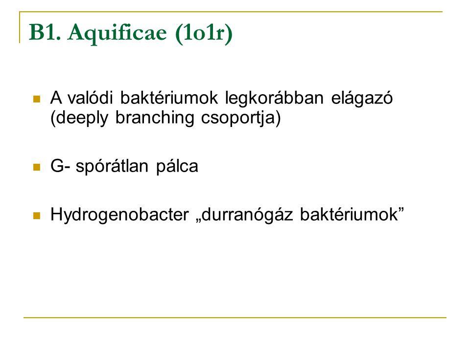 B1. Aquificae (1o1r) A valódi baktériumok legkorábban elágazó (deeply branching csoportja) G- spórátlan pálca.