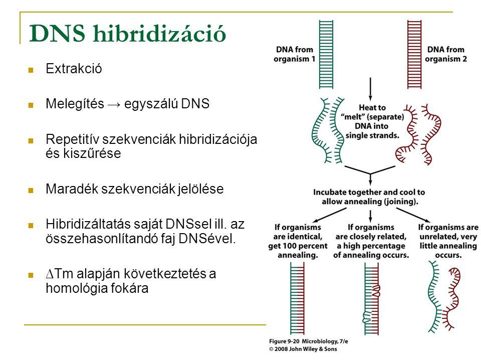 DNS hibridizáció Extrakció Melegítés → egyszálú DNS