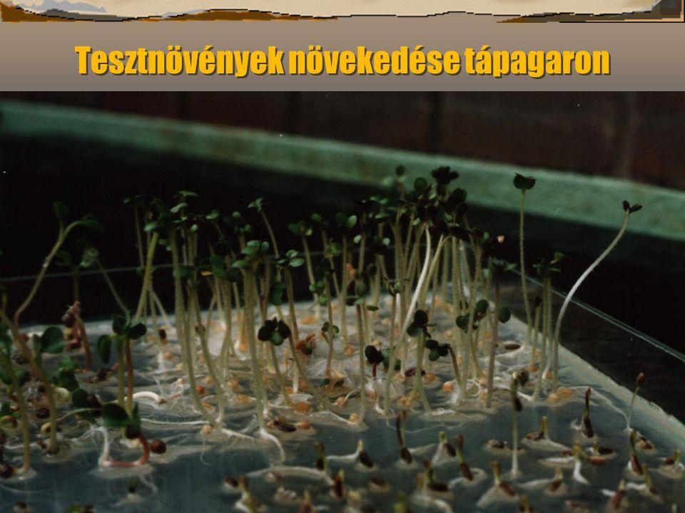 Tesztnövények növekedése tápagaron