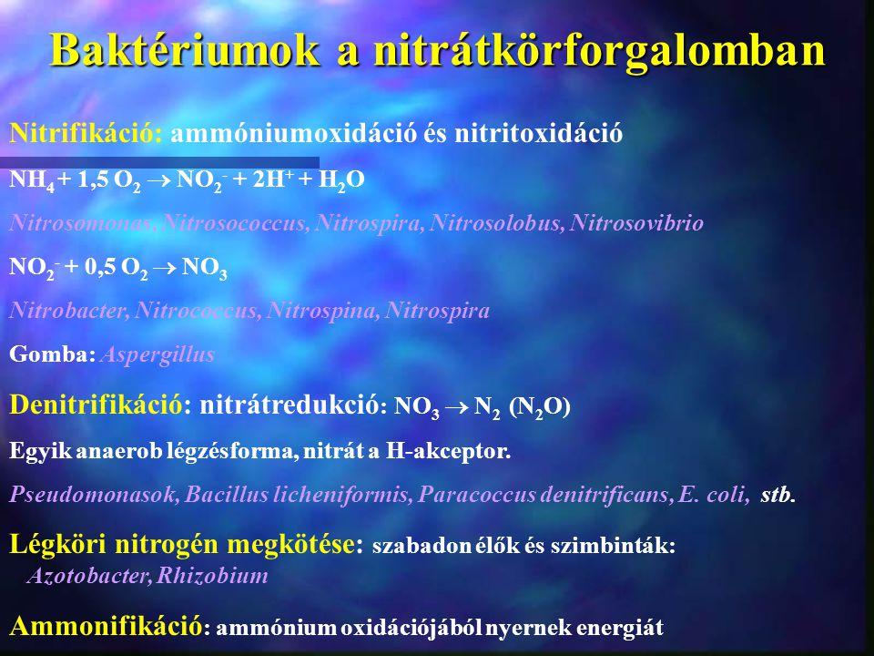 Baktériumok a nitrátkörforgalomban