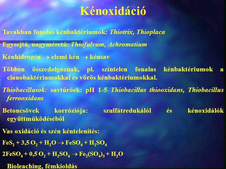 Kénoxidáció Tavakban fonalas kénbaktériumok: Thiotrix, Thioplaca