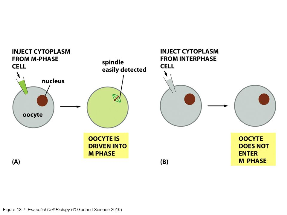 Figure 18-7 Essential Cell Biology (© Garland Science 2010)