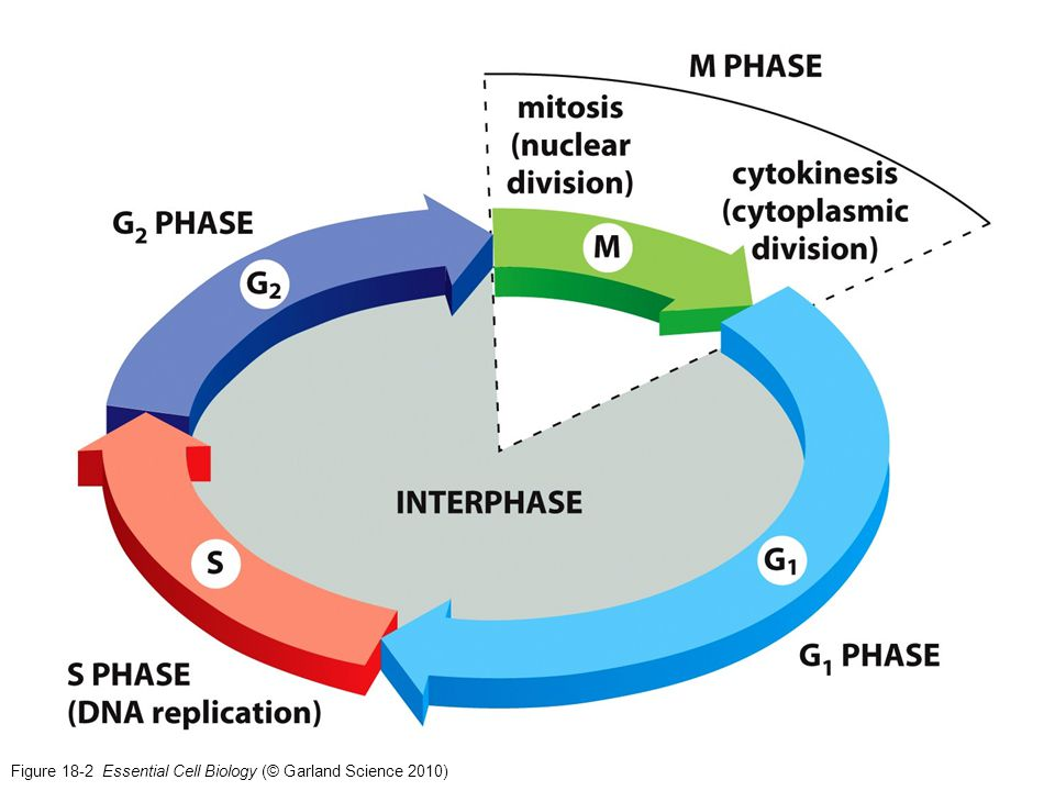 Figure 18-2 Essential Cell Biology (© Garland Science 2010)