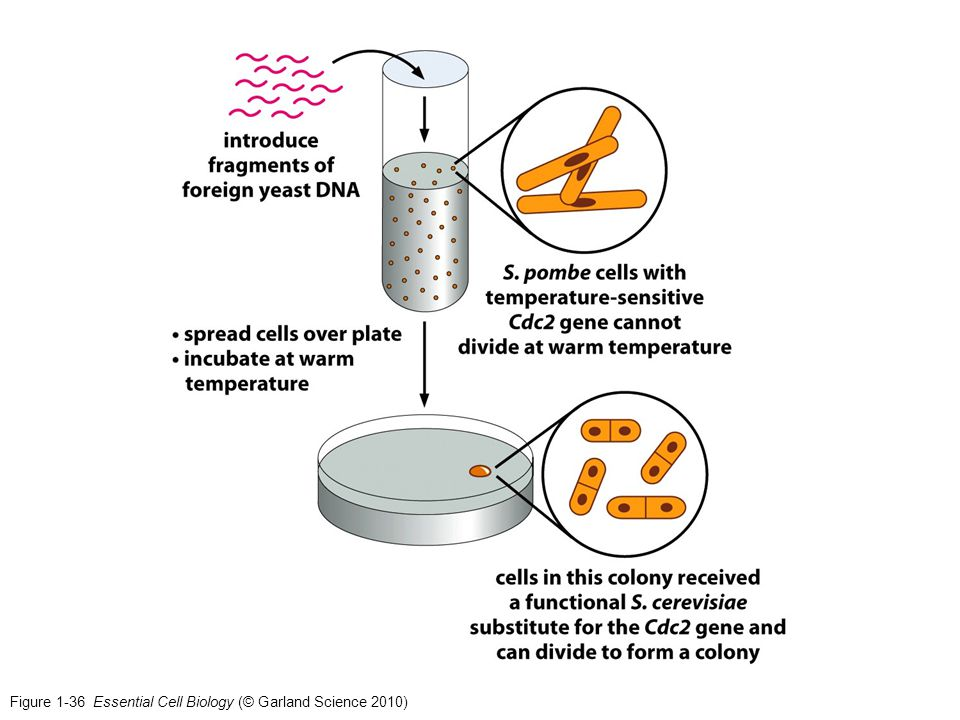 Figure 1-36 Essential Cell Biology (© Garland Science 2010)