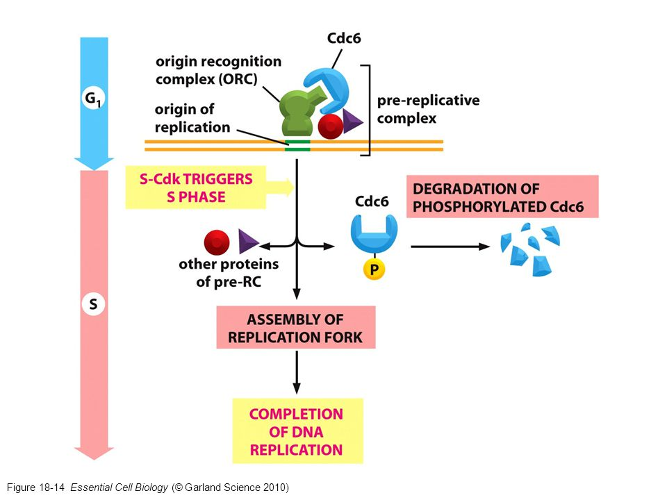 Figure 18-14 Essential Cell Biology (© Garland Science 2010)