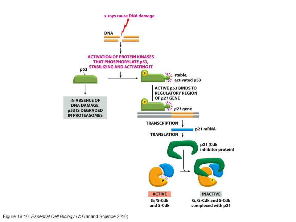 Figure 18-16 Essential Cell Biology (© Garland Science 2010)