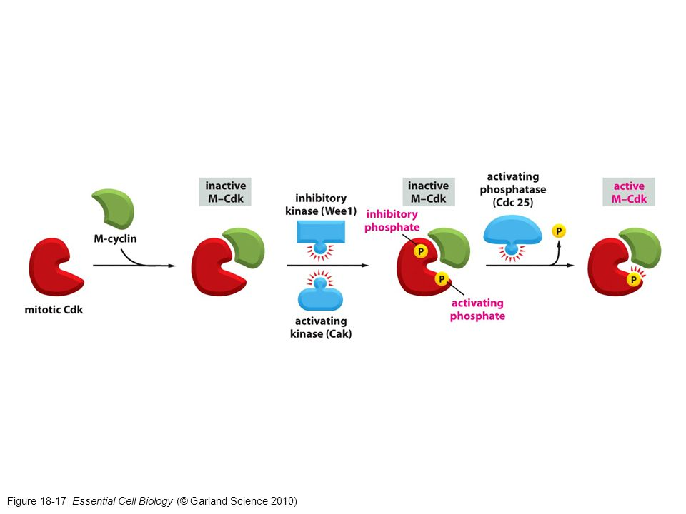 Figure 18-17 Essential Cell Biology (© Garland Science 2010)