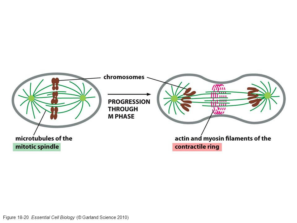 Figure 18-20 Essential Cell Biology (© Garland Science 2010)